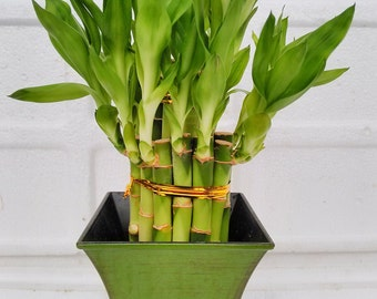 """2 Tier Lucky Bamboo - 6"""" & 4"""" Lucky Bamboos in 2 Tiers - Feng Shui - With 5'' Vase Color Moss Green  (FREE SHIPPING)"""