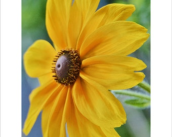Black-eyed Susan Closeup