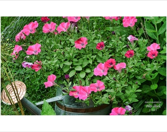 Water Can and Pink Petunias
