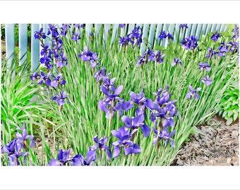 Purple Iris Garden