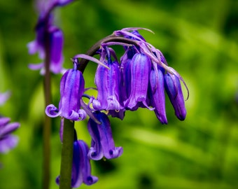 Print of photograph of Bluebells