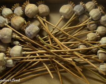 10 Decorative Dried Poppy Seed Heads, and a Packet of Seeds!