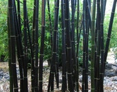 Black asper Bamboo 5 seeds