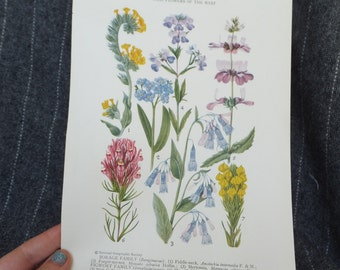 Vintage 1920's Print Floral Forget Me Not Botanical Print Garden Art National Geographic Magazine Purple Pink Yellow Floral Art Wild Flower