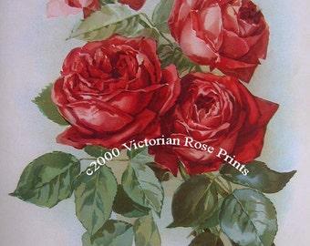 American Beauty Cabbage Roses, Art Print, Half Yard Long, Shabby Chic Decor