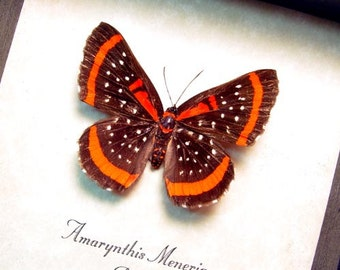Real Framed Rare Amarynthis Meneria Metalmark Butterfly 8305
