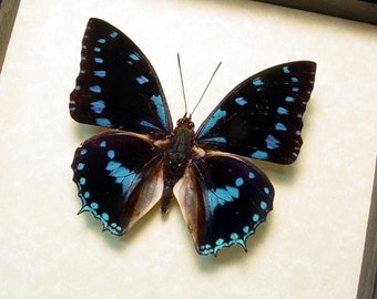 Real Framed Blue-Spotted Charaxes Ameliae Butterfly 125