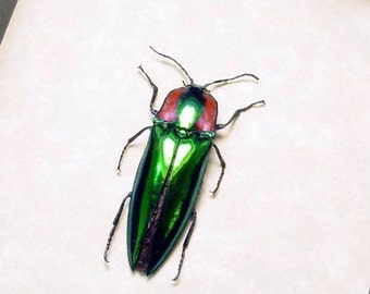 Campsosternus Gemma Real Framed Green and Red Click Beetle 8284