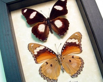 Real Framed Hypolimnas Misippus Pair Rare The Danaid Eggfly Butterfly 965p