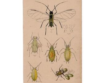 1888 PLANT LOUSE original antique insect bug print - plant crop disease - hop plant