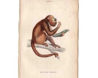 1833 MONKEY print original antique ape primate engraving -  araguilo monkey