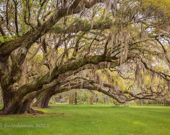 South Carolina Live Oaks at Charleston's Magnolia Plantation Gardens