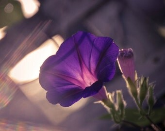 Morning Glory Floral Photography Purple,morning glories,lime green,bold floral decor,summer,stunning rich purple,dramatic floral artwork