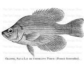 Fish Clip Art Chinkapin Perch Vintage Printable Sea Image Digital Download JPG PNG
