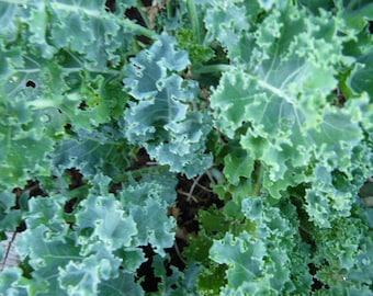 Dwarf Curled Blue Kale Seeds