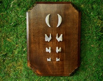 Wood Curio with Four Sets of Coyote Teeth