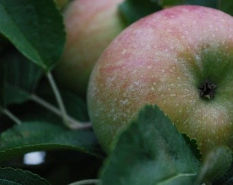 Honeycrisp Closeup