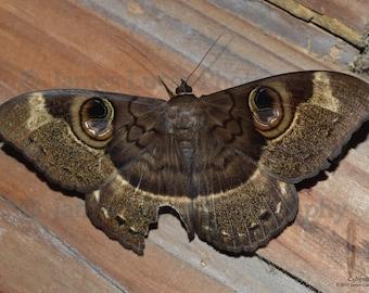 Cyligramma duplex Moth Poster