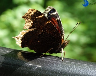 Butterfly -Nymphalis Antiopa