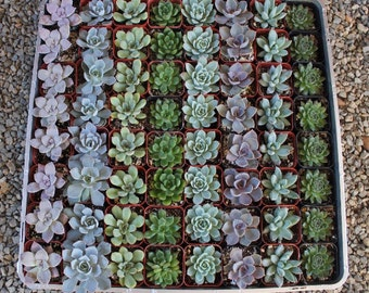 "30 ROSETTE Only Wedding Succulent collection potted in 2"" containers collection of Beautiful WEDDING FAVOR Succulents Gifts~"