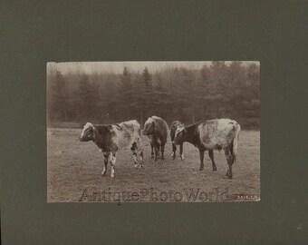 Cows on field antique art albumen photo