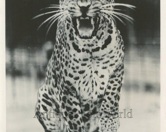 Ringling Brothers circus trained leopard roaring vintage circus photo