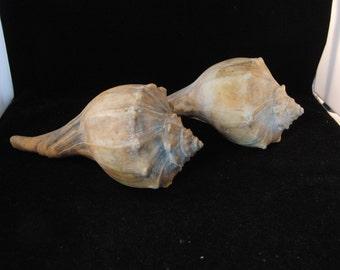 Large white and brown  seashells (2 shells)