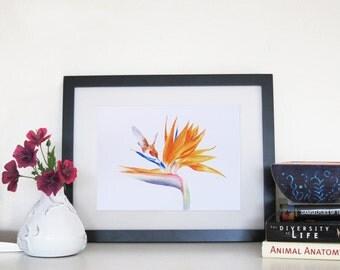 Hummingbird and Bird of Paradise - 8 x 10 Print