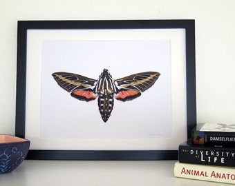 White-Lined Sphinx Moth - 8 x 10 Print