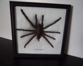Taxidermy Real Tarantula Bird Eating Spider Framed Display Eurypeima Spinicrus Entomology Arachnology