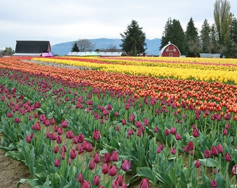 Multi Color Tulip Field (Art Prints available in multiple sizes)