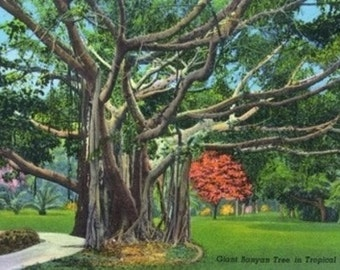 Fort Myers, Florida - View of a Giant Banyan Tree (Art Prints available in multiple sizes)