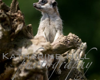 Meerkat Lookout, Colour Photograph, Animal Wall Art