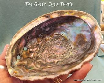 """5"""" Abalone Shell"""