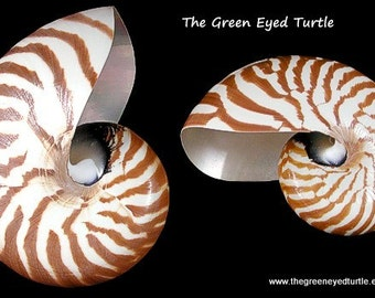 Natural Whole Nautilus Shell