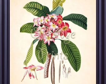 Antique EHRET Botanical Print Red PLUMERIA Flower 8x10 Antuque Floral Art Print Natural History Vintage Botanical Plate Wall Decor BF1701