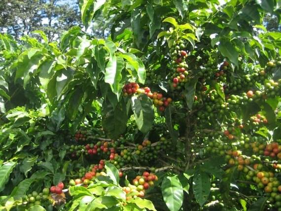 coffee bean plant seeds yemen mokha small smallest coffee. Black Bedroom Furniture Sets. Home Design Ideas
