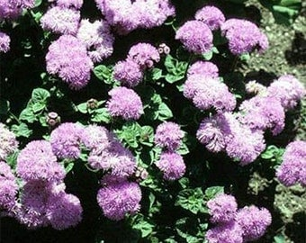 Ageratum- Pink Ball- 200 seeds