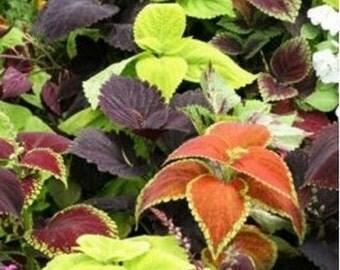 Coleus- Rainbow Mix- 100 Seeds