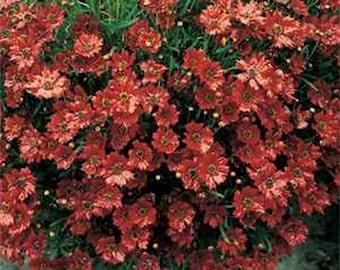 Coreopsis- Mahogany Midget- 50 Seeds