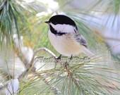 Bird Photography | Black Capped Chickadee | Soothing Nature Photo | Nursery Decor | Winter Pine Art | Outdoor Wildlife | Chickadee Art Print