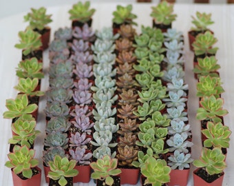 120- 2 inch Succulent Wedding Favors. Perfect Gift for Wedding and Shower Favors,Event and Party Favors