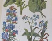 Antique 19th Century Italian Botanical Coloured Book Plate  Nicotiana  Ideal For Framing  XXXVI