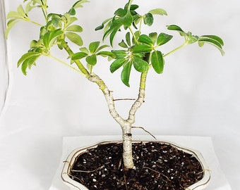 Hawaiian Umbrella bonsai in a white clay pot. A beautful bonsai that is quite unique. This tree is easy to care for. Great First bonsai