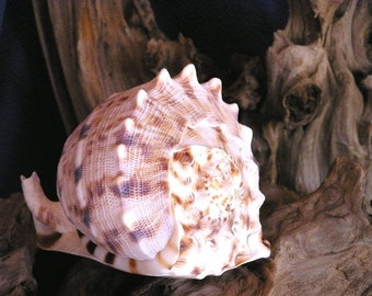 "Bebe Cassis Conch Seashell - 5-6"""