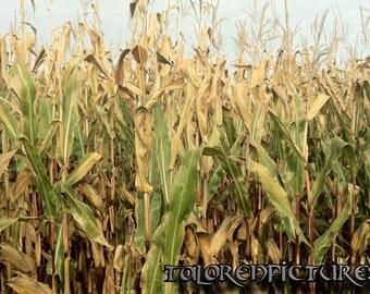 Cornfield Photography, Landscape Photo, Corn, Cornfield, Cornfield Photo, Corn Perennials