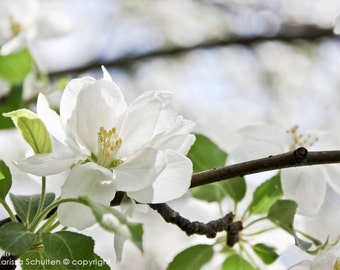 White Flower Print, Floral Photography, Nature Photography, Apple Bloom, Flower Closeup, Macro, Botanical, Floral, White, Green and White