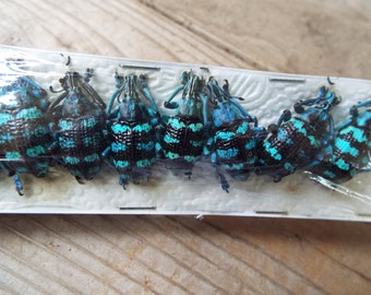 10-Pack Real Blue Weevil Beetle, Eupholus linnei
