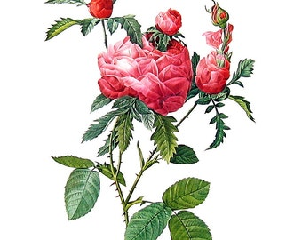 Redoute Rose Print - Rosa Centifolia - 1978 Vintage Flowers Book Print  - 11 x 9
