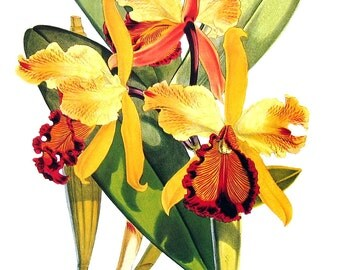 Flower Print - Orchids - Cattleya dowiana - Yellow orchid - 1979 Vintage Book Page - Large Print For Framing - 15 x 12